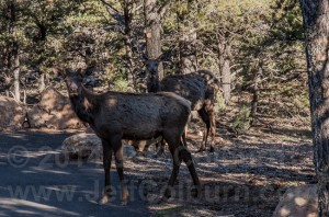 Elk (Cervus elaphus Linnaeus) in the grand canyon
