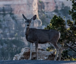 Mule deer (Odocoileus hemionus) in the Grand Canyon