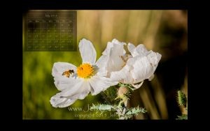 honeybee and prickly poppy