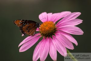 Butterfly and Echinacea - The Arboretum at Flagstaff