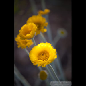 Yellow Flower - Plant0438