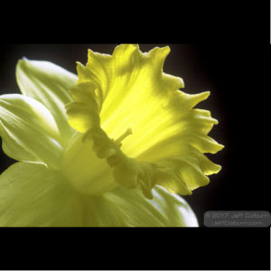 Photo - Daffodil