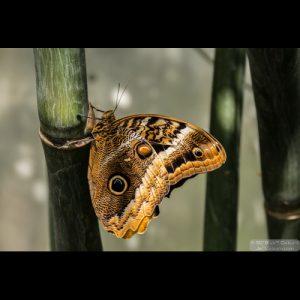 Blue Morpho (Morpho peleides) - ButterflyWonderland-0313